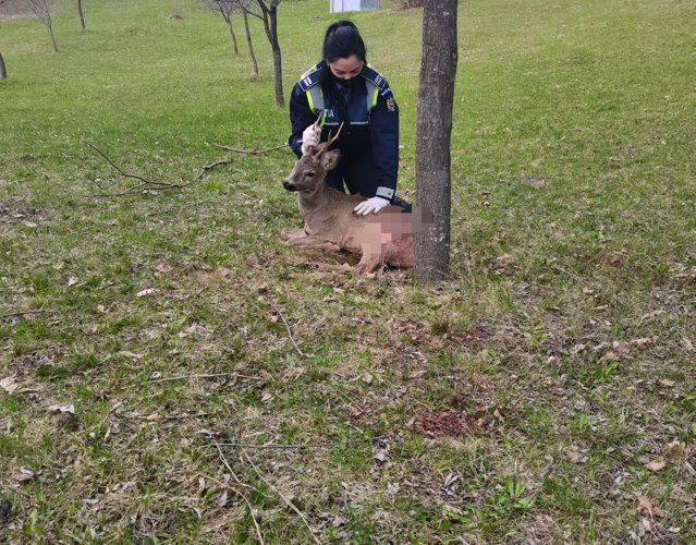 Vrancea. Un căprior rănit de braconieri a fost salvat după ce a ajuns lângă un drum naţional