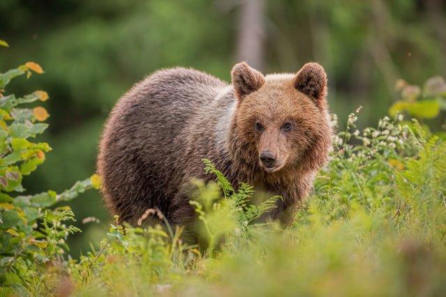 """Ce scrie presa internaţională despre scandalul din România după împuşcarea ursului Arthur: """"Un prinţ în febra vânătorii"""""""
